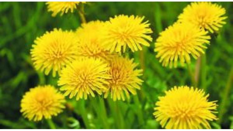 Кульбаба – рослина лікувальна